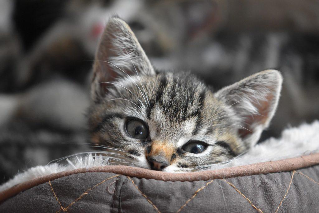 accueil-chaton